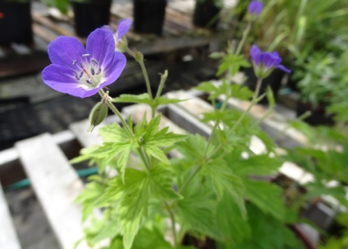 Geranium 'Amy Doncaster'