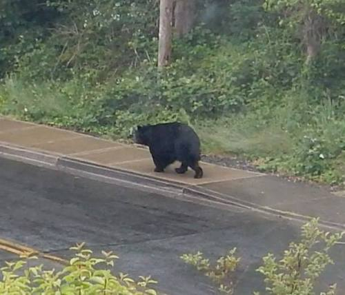photo by Ann Saari; bear is heading to the high school.