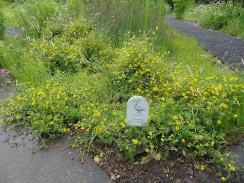 Birdsfoot trefoil at entrance to Amazing Water Garden