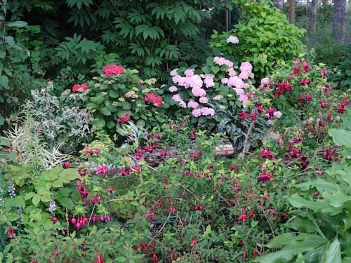 Hardy fuchsia and hydrangeas as the rain returned