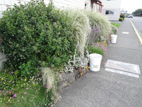 Next, deadheading the sea thrift at city hall and adding another two buckets of soil