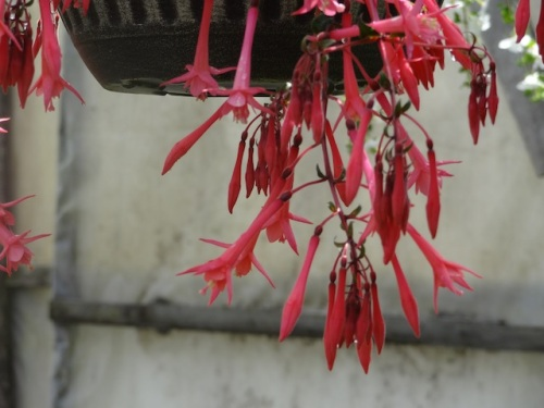 fuchsia, an award winner at RHS or Chelsea
