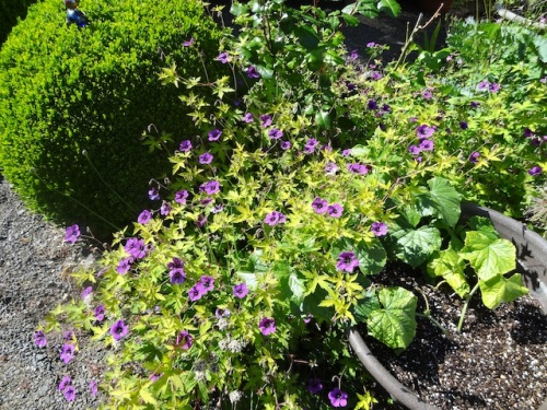 If only Geranium 'Ann Folkard' reseeded like the annoying blah pink one!