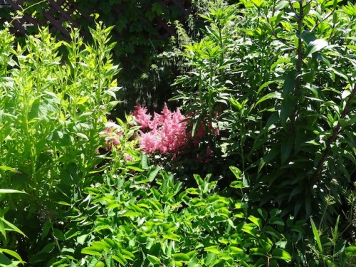 an astilbe coming on