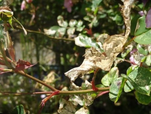 Leaves on some of my roses are under attack from something. Fortunately, I'm not on any garden opens this year.