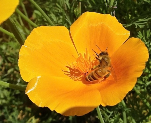 spinning round and round the center of California poppy