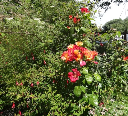 Fuchsia magellanica and Rose 'Radway Sunrise'