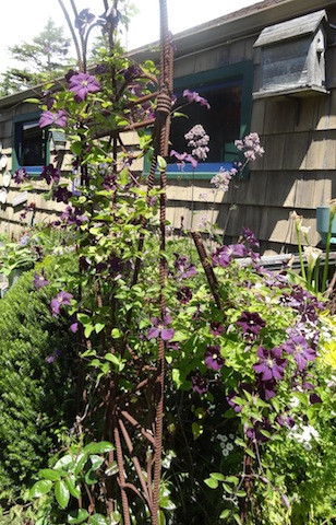 Clematis 'Etoile Violette' is in bloom.