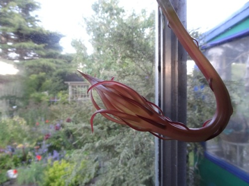 Indoors: night blooming cereus bud coming along