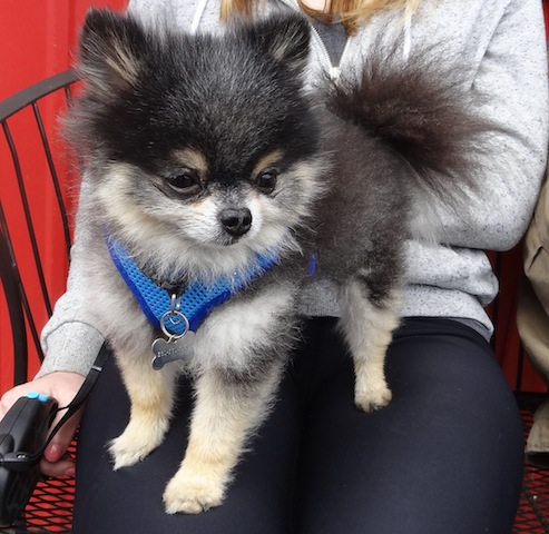 and a tiny Pomeranian, not a puppy