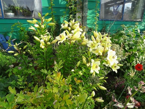 front garden lilies