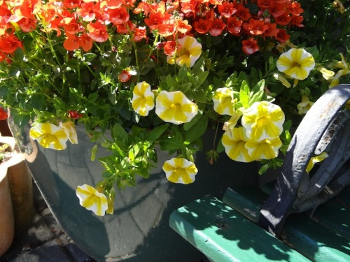 mouthwatering Calibrachoa 'Lemon Slice'
