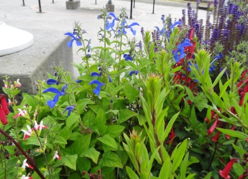Veterans Field: Salvia patens, Phygelius 'Cherry Ripe', Salvia 'Hot Lips', Salvia 'May Night'