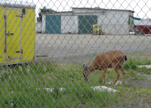 a deer grazing in the boatyard