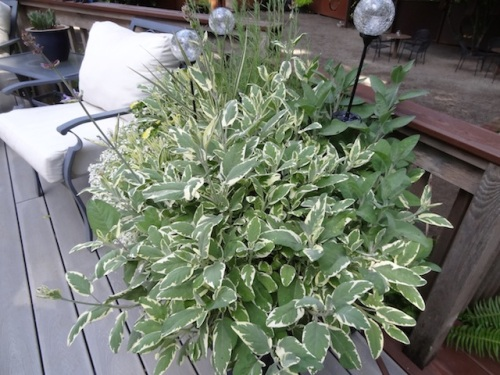 well grown variegated sage