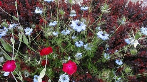 Nigella (love in a mist) (Allan's photo)