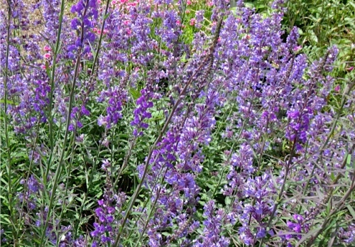Nepeta 'Walker's Low' (catmint)   (Allan's photo)