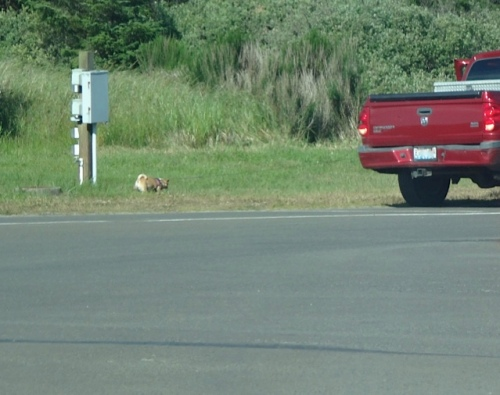This little dog enjoys a daily outing with his human's slow driving truck.