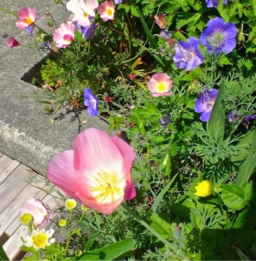 Allan's photo: pink California poppy and Geranium 'Rozanne'