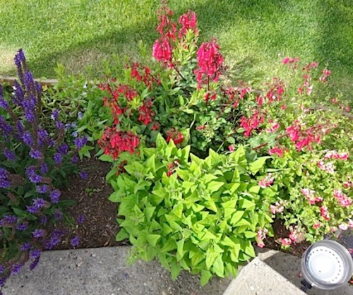 Salvia patens (sometimes tender) has come back strong (center, next to red flowers)