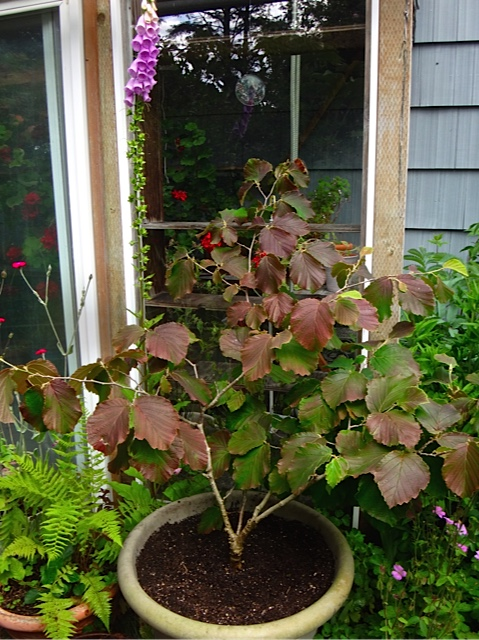 I recently learned that Hamamelis do well in large pots.
