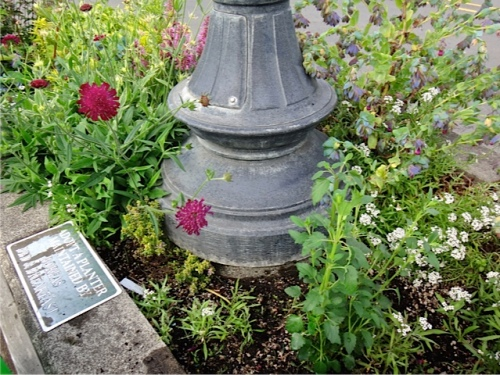 also filling in the spot where the Knautia 'Thunder and Lightning' got destroyed in a theft attempt