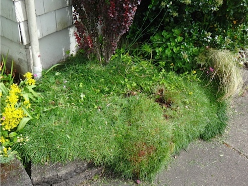 after (and then I pulled some more damnable creeping buttercup out)