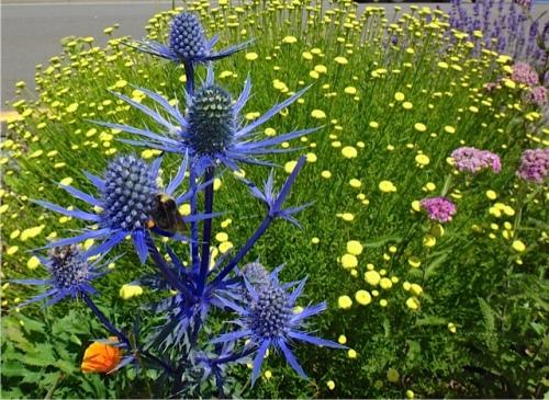 Eryngium 'Sapphire Blue' (Allan's photo)