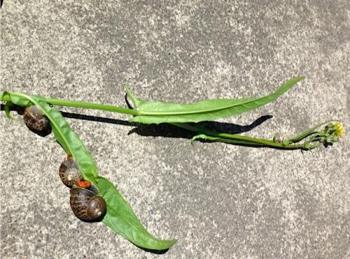 Snails like dandelion greens. (Allan's photo)