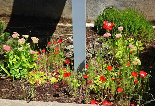 small poppies at community building (Allan's photo)