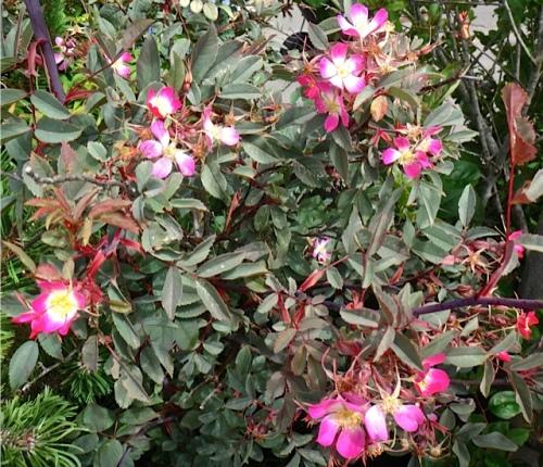 Rosa rubrifolia (Allan's photo)