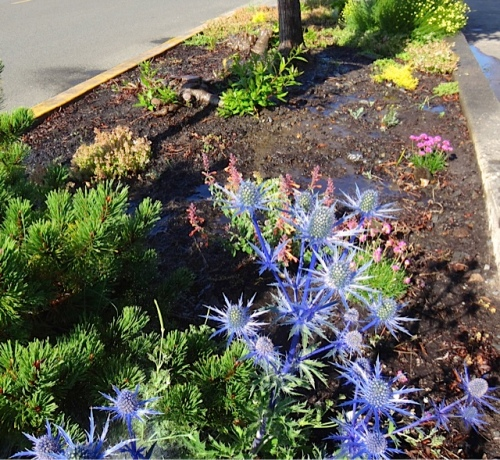 Eryngium 'Sapphire Blue' by Ilwaco Pavilion (Allan's photo)