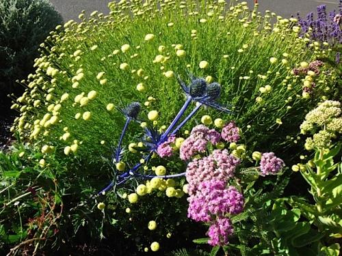 Eryngium, santolina, achillea (Allan's photo)