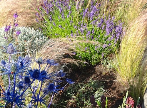 Eryngium 'Sapphire Blue' and Nasella tenuissima (Allan's photo)