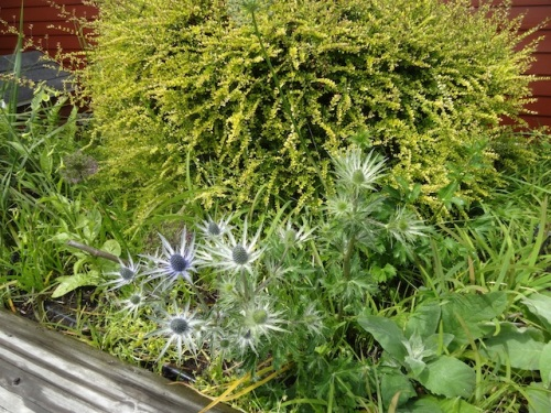 Eryngium 'Sapphire Blue' backed with Lonicera 'Baggeson's Gold'