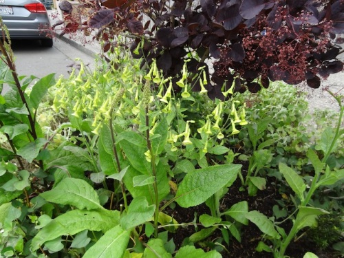 Nicotiana langsdorfii (a flowering tobacco)