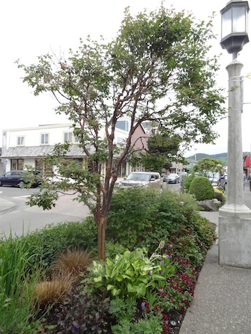 As always, I envy the variety of street trees...not just boring old columnar pears like we have. Here: paperbark maple.
