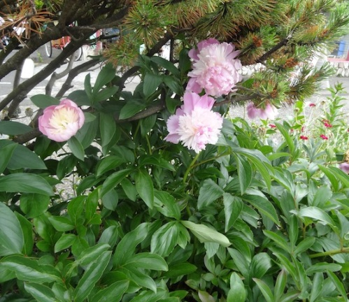 a big fluffy peony under a beach pine