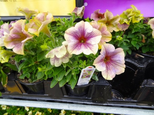 petunias of interesting hues