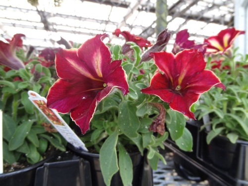 another unusual petunia