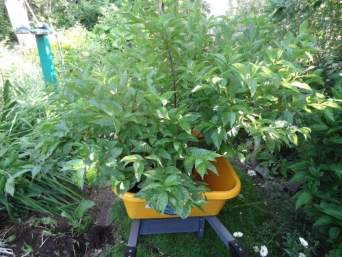 Allan had helped me by putting a very big seven gallon shrub into the wheelbarrow.