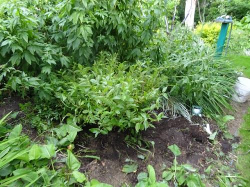 Allan helped me rassle the shrub into the ground.
