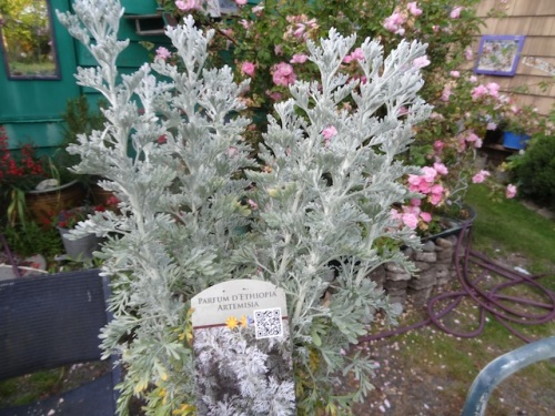 This new to me artemisia had a gentle, sweet scent.