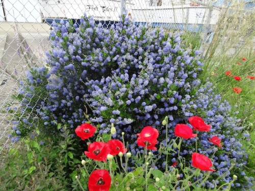 Ceanothus and Flanders Field poppies