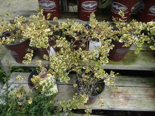Azara integrifolia variegata