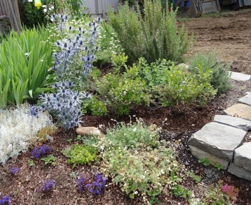 front garden with Eryngium, my favourite perennial