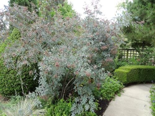 large, handsome Rosa rubrifolia/Rosa glauca