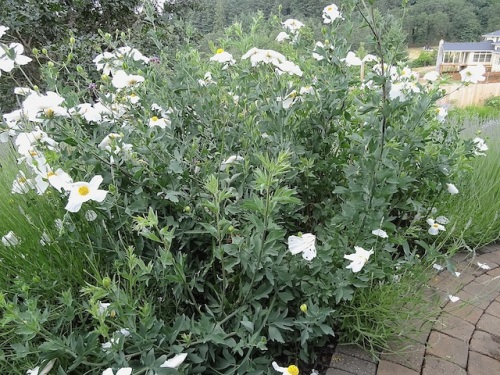 an impressive patch of Rhomneya coulteri