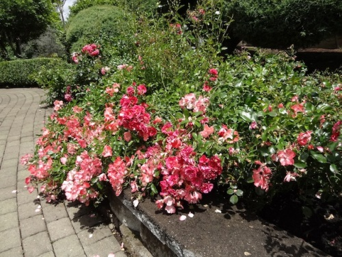roses spilling over