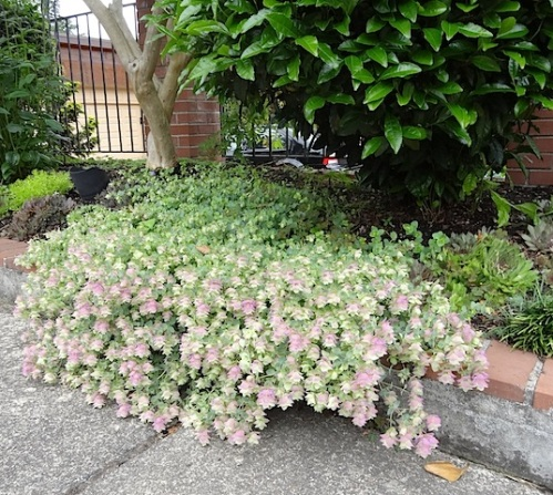 Origanum rotundifolium, a favourite of mine that I do not have this year.